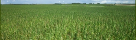 The Growing Industrial Hemp Market