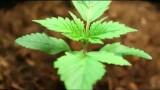 Cannabis Grow Timelapse Videos