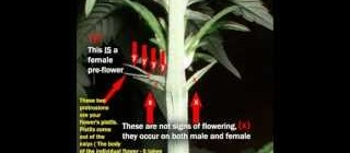 How To Sex Marijuana - Tell The Difference Between Male and Female Plants