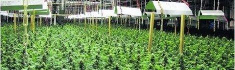 Cannabis Anbau Im Deutschland Bald Legal