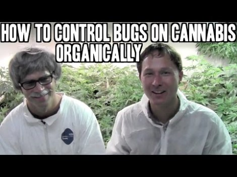 How to Control Bugs and Pests on Cannabis Organically